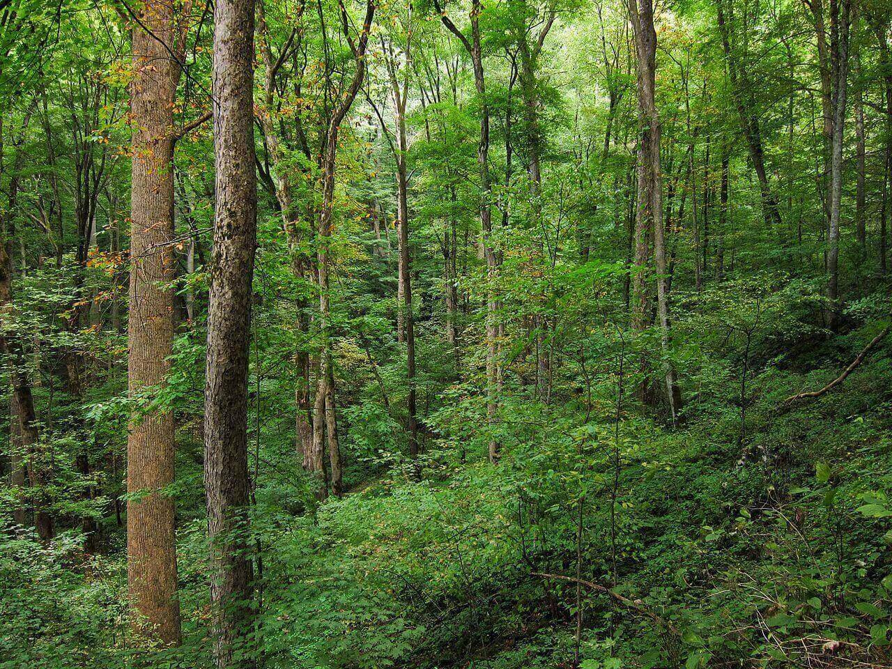 1280px-Appalachian_Cove_forest_on_Baxter_Creek_Trail_in_Great_Smoky_Mountains_National_Park-large