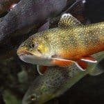 Brook -trout todd-stailey